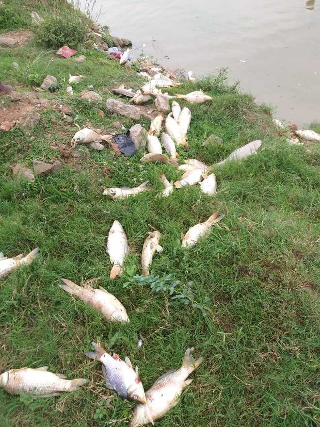 Fish found dead in pond