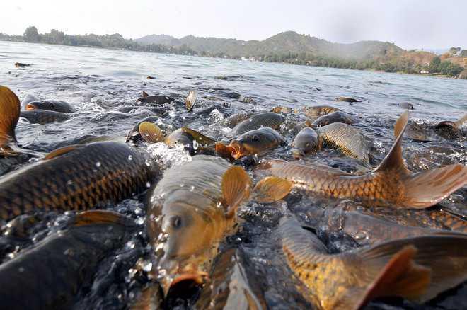 To save Mansar Lake, govt plans to relocate carp fish
