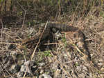 Invasion of big, voracious lizards threatens US South