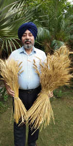Coloured wheat may replace traditional variety for its health benefits