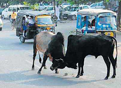 Surat MC uses Aadhaar to track down, punish stray cattle owners