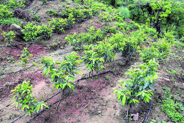 Research project to boost subtropical fruits production in state