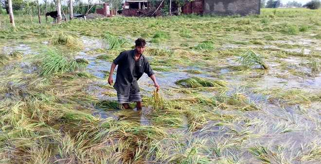 Basmati damaged, showers shatter hope of high prices