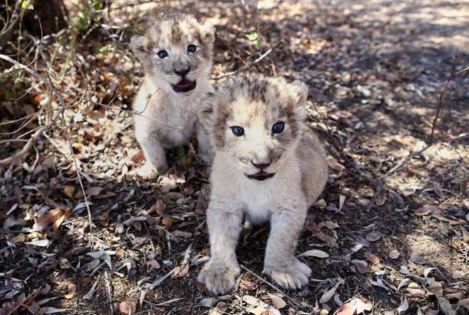 South African lion cubs conceived artificially in world's first