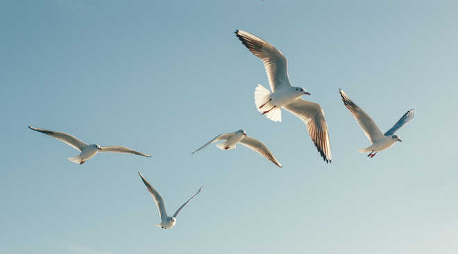 Seagull wings may inspire smarter airplane design