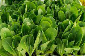 Spinach-protein may offer treatment for alcohol abuse, mood disorders