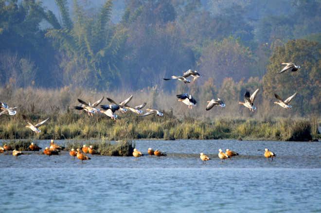 Migratory bird count up at Nangal wetland