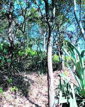 State's sandalwood wealth under threat