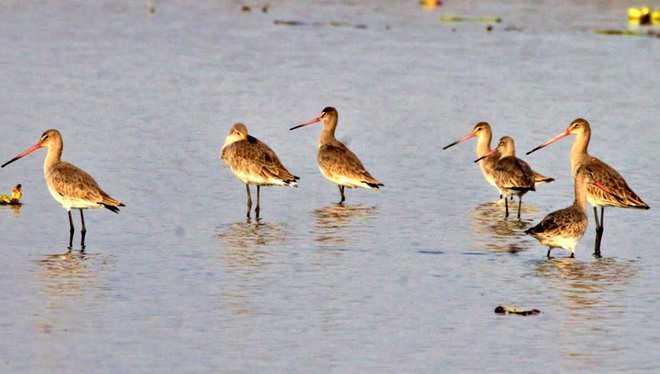 Rare migratory birds flock to Harike, Nangal