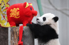 Giant panda cubs play together surrounded by decorations during an event to celebrate Chinese Lunar New Year of Pig, at Shenshuping panda base in Wolong, Sichuan province, China January 31, 2019. — Reuters