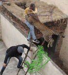 The leopard jumps on a man after being cornered at Lamma Pind in Jalandhar on Thursday. Tribune photo: Malkiat Singh