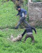 The leopard grabs a bystander by arm at Lamma Pind in Jalandhar on Thursday. Tribune photo: Malkiat Singh