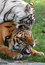 Sidhu's Royal gesture, adopts tigers at Chhatbir