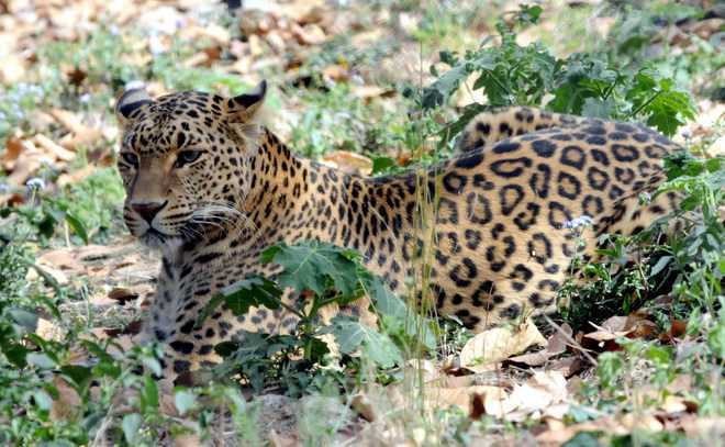 Leopard mauls 60-year-old man to death in Gir