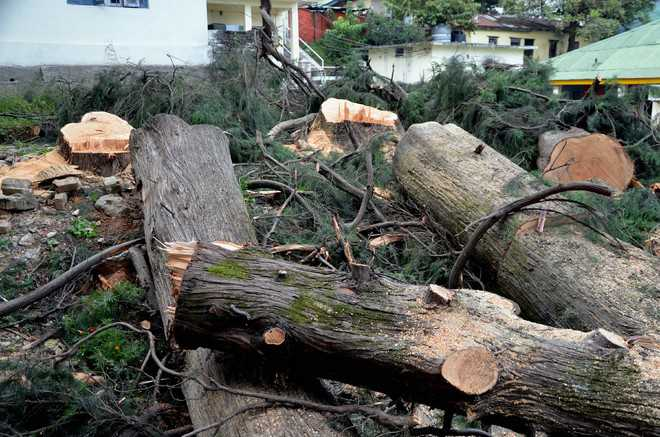 Trees felled in Forest Dept compound in Dharamsala