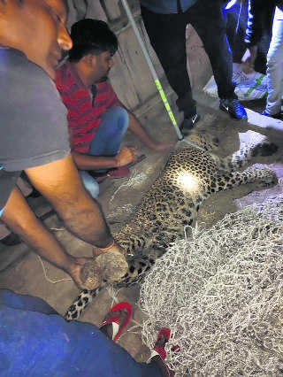 Leopard scare in Ambala, rescued