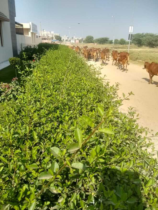 Stray cattle menace