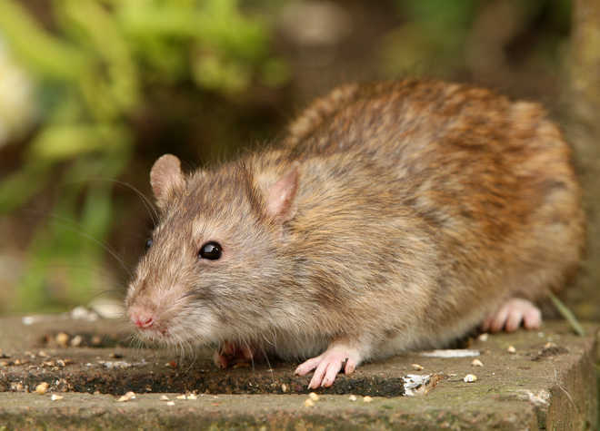 'How abuse by moms affects infant brain in rats decoded'