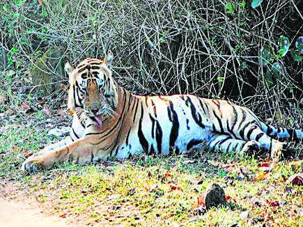 Kanha star 'Munna' shifted to MP park