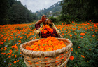 A woman fills her basket with marigold flowers, used to make garlands and offer prayers, as she plucks them before selling to the market for the Tihar festival in Kathmandu, Nepal on October 25, 2019. — Reuters