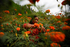 A woman picks marigold flowers, used to make garlands and offer prayers, before selling them to the market for the Tihar festival in Kathmandu, Nepal on October 25, 2019. — Reuters
