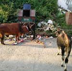 Stray cattle litter Chowgan in Nurpur
