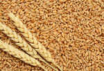 Govt hikes wheat MSP by Rs 85 per quintal, pulses MSP by up to Rs 325/qtl