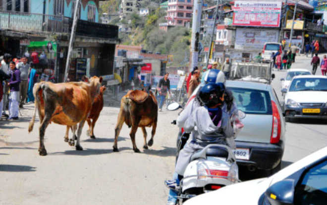 Hill roads a haunt of stray cows