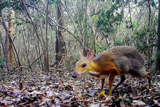 Rare 'tiny' deer feared extinct, clicked for first time in 30 years