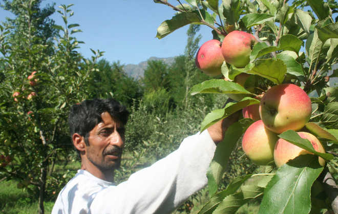 Govt asks orchardists to prune apple trees