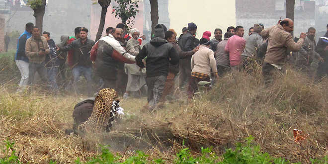 Image result for Shocking visuals, as leopard spotted in Jalandhar house, attacks bystanders