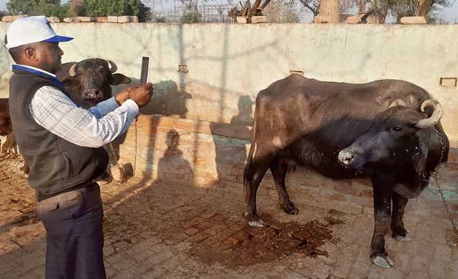 App clicks for Haryana livestock census
