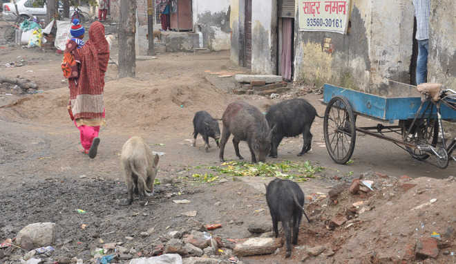 Residents see red over swine menace