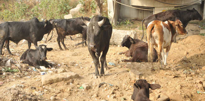 Ban no deterrent, residents rearing cattle within city limits