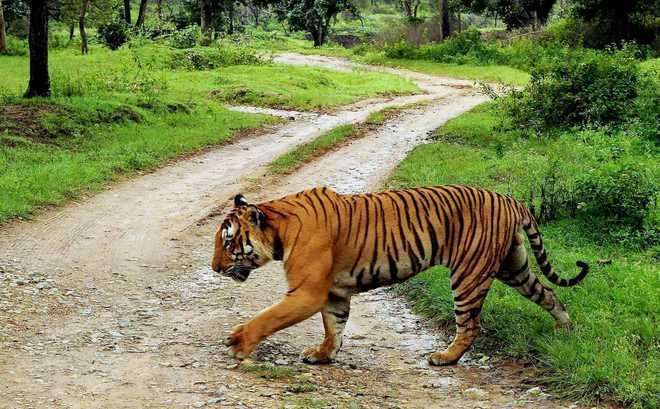 Tiger found dead in Gujarat had traversed from MP