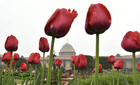 A fully bloomed Dahalia flower at the Mughal Gardens of Rashtrapati Bhavan in New Delhi, Saturday, February 2, 2019. The Gardens will be thrown open for the public from February 6 to March 10, 2019. Tribune Photo: Mukesh Aggarwal.