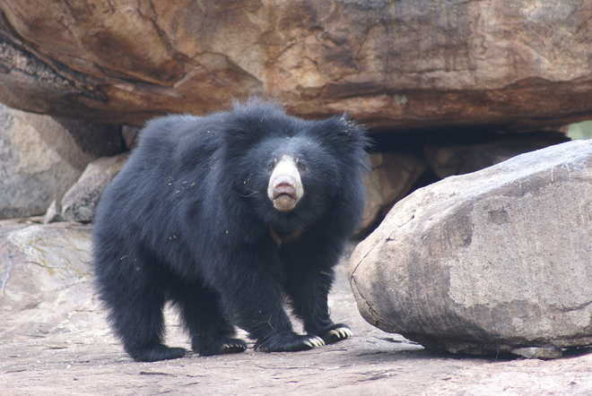 Changing behaviour of black bears has experts worried