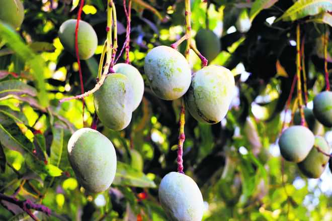 Chemical ripeners are here to stay