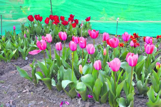 Immense potential for tulip cultivation in state