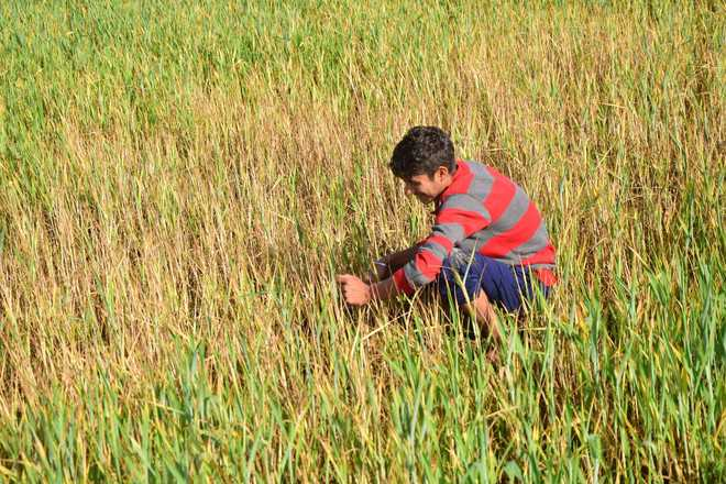 Yellow rust affects 8,269 hectares of wheat crop in Jammu, Kathua