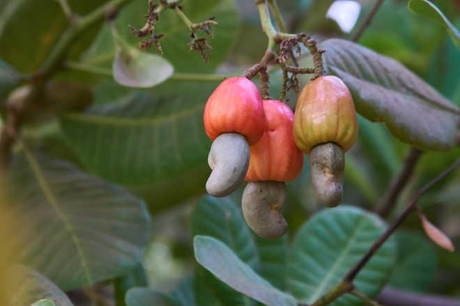 Coonoor cashew & Tatanagar tamarind
