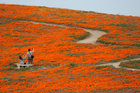 Visitors look at poppies at the Antelope Valley California Poppy Reserve in Lancaster, California, US, March 26, 2019. — Reuters