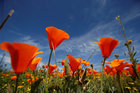 Poppies are pictured at the Antelope Valley California Poppy Reserve in Lancaster, California, US, March 26, 2019. — Reuters