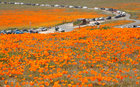 Cars line up to enter the Antelope Valley California Poppy Reserve in Lancaster, California, US, March 26, 2019. — Reuters