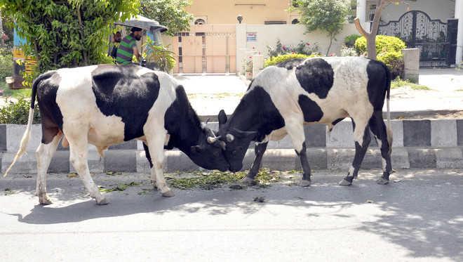 Stray bulls jeopardise commuters' lives