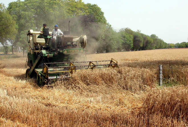 Highest-ever wheat yield expected