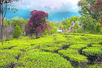 These tea estates are 'not for sale'