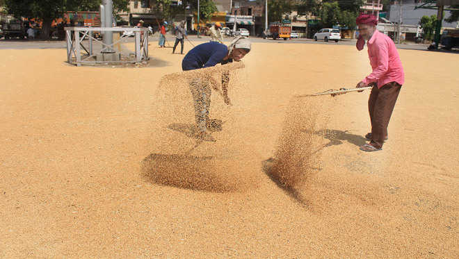Only 1,564 MT wheat arrives in mandis