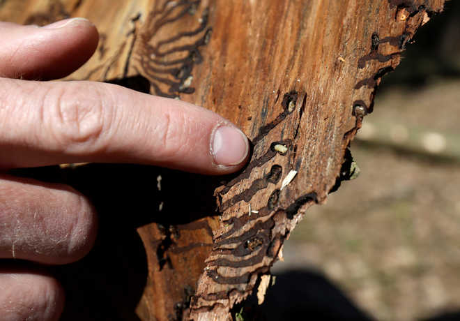 Climate change to blame as bark beetles ravage central Europe's forests