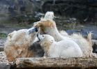 A polar bear cub and her mother 'Tonja' are photographed at their enclosure at the Tierpark zoo in Berlin on April 1, 2019. — AFP